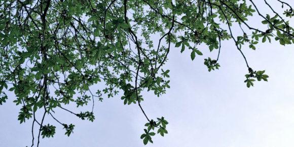 Feierabend - So schön sieht's da drüber aus - Junge Kastanien knospen im blauen Abendhimmel